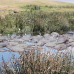 Zahlreiche Flusspferde in einem Teich