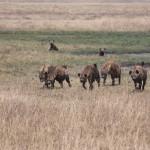 Die Gang - Fünf Hyänen auf Streifzug