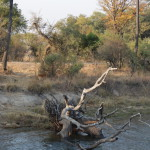 Impala am Rande des Salbeis