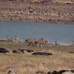 Herde von Impalas