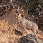 Majestätischer Kudu