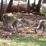 Affen die im Kariba Bush Club rumtollen
