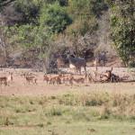 Impalas, Kudus und Buschbock zeigen sich