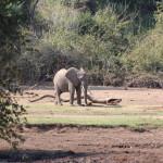 Babyelefant auf dem Weg zum Wasser