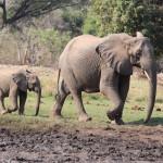Elefanten auf dem Weg zum Wasser