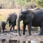 Elefanten schützen sich vor Insekten
