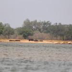 Die ersten Flusspferde auf dem Land