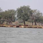 Ein Flusspferd müht sich aus dem Wasser