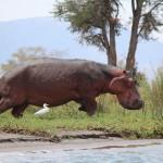 Nahaufnahme Flusspferd