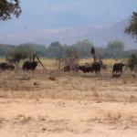Die Büffel beobachten uns ganz genau
