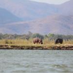 Flusspferde beim Grasen