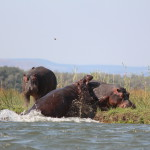 Hippo-Kampf