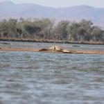 Krokodil auf dem Weg ins Wasser