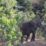 Elefant zwischen den Büschen