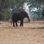 Der Elefant macht sich dreckig um zu schützen