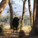 Einzelner Büffel unterwegs