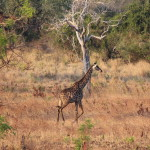 Wir passieren einen Nationalpark und sehen unteranderem Giraffen