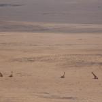 Fünf Giraffen beim schlafen erwischt