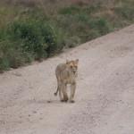 Löwin kreuzt vor uns die Straße