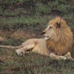Löwe zeigt seine prachtvolle Mähne
