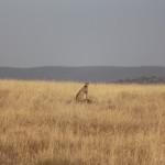 Gepard posiert auf einem Felsen