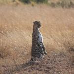 Der Leopard stellt sich für uns auf