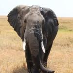 Elefant ganz nah bei uns