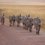 Herde von Zebras kreuzen unseren Weg