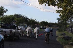 Kühe blockieren die Straße